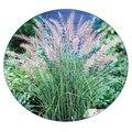 Семена цветов Мелиниса нервноколоскового