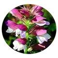Семена цветов Аканта