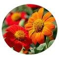 Семена цветов Титонии
