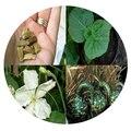 Семена цветов Лагенарии