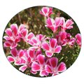 Семена цветов Кларкии