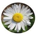 Семена цветов Мелколепестника карвинского