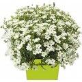Семена цветов Аренарии