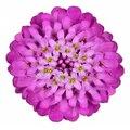 Семена цветов Ибериа