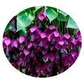Семена цветов Родохитона