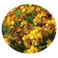 Семена цветов Хейрантуса