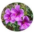 Семена цветов Мирабилиса