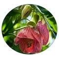 Семена цветов Абутилона
