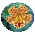 Семена цветов Губастика