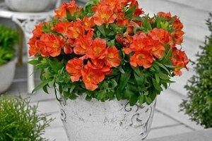 Альстромерия: описание, выращивание, уход, фото