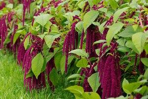 Амарант: описание, выращивание, уход, фото