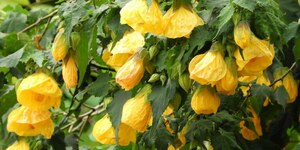 Абутилон домашний клён - описание, выращивание, уход, фото
