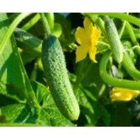 Рекомендованные программы обработки  огурцов,кабачков, тыквы препаратами Reasil (Реасил) Сила Жизни