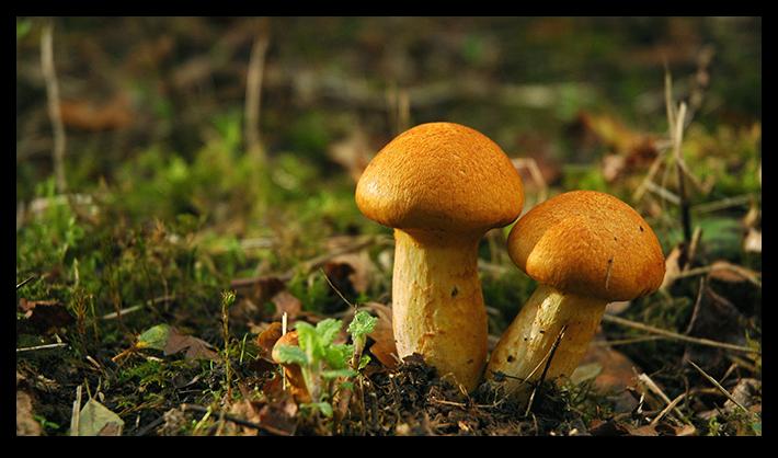 Мицелий грибы