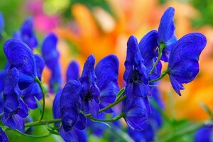 Аконит: описание, выращивание, уход, фото