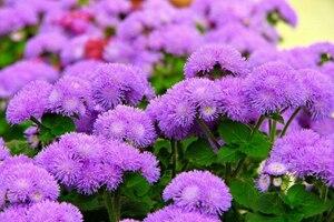 Агератум: описание, выращивание, уход, фото