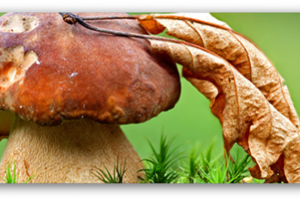 Как вырастить грибы из Мицелия?
