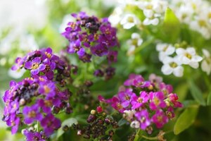 Алиссум: описание, выращивание, уход, фото
