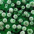 Семена клевера белого ползучего