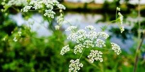 Амми: описание, выращивание, уход, фото