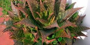 Алоэ: описание, выращивание, уход, фото