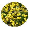 Семена цветов Тимофиллы