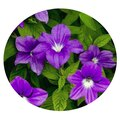 Семена цветов Нирембергии