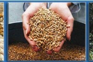 Технология применения Иркутских гуматов при выращивании зерновых культур*
