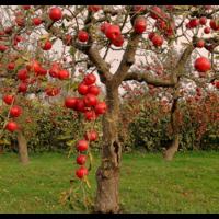 Подкормки плодовых деревьев гуматами