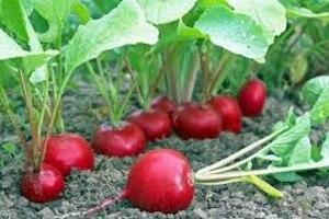 В создание богатого, вкусного и красивого огорода Вам поможет Грин Агро - поговорим о Редисе