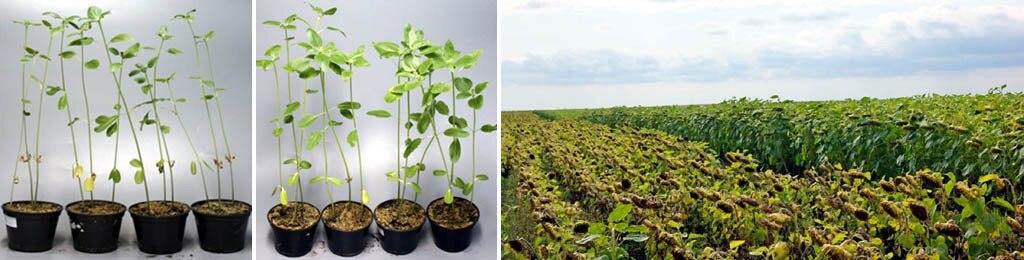 Действие гуматов и леонардитов на растения