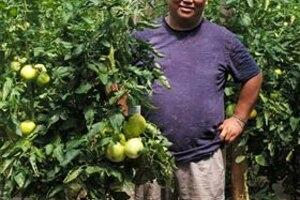 Опыт выращивания томатов в теплице с применением почвоулучшителейи гуматов