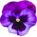 Семена цветов Фиалка рогатой
