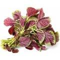 Семена цветов Амаранта