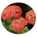 Семена цветов Лихниса