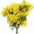 Семена цветов Мимозы