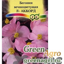 КОМ Бегония Аккорд вечнозеленая  Гавриш Ц