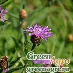 Василек луговой (Centaurea jacea) 10 г