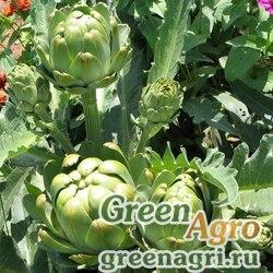 "Артишок испанский (Cynara scolymus) ""Green Globe"" 30 г"