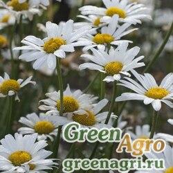 "Нивяник обыкновенный (Chrysanthemum leucanthemum) ""White Breeze"" 10 г"
