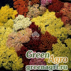 """Тысячелистник обыкновенный (Achillea millefolium) """"Summer Pastels F2"""" (mix) raw 100 шт."""