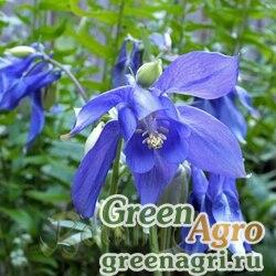 Аквилегия альпийская (Aquilegia alpina) 10 г