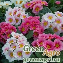 """Примула бесстебельная (Primula acaulis) """"Pioneer F1"""" (bicolour formula mixture) raw 1000 шт."""