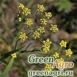 Володушка козелецевидная (Bupleurum scorzonerifolium) 1.2 гр.
