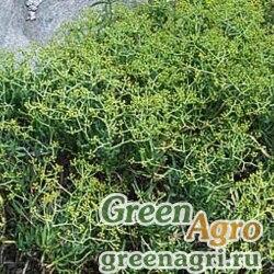 Володушка колючая (Bupleurum spinosum) 1,5 гр.