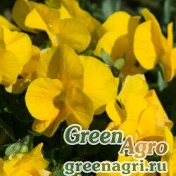 """Виола Виттрока (Viola wittrockiana) """"Clear Crystals"""" (yellow) Raw 10 гр."""