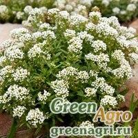 Алиссум Бимбо белый  (упак-50 гр.)