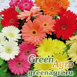 "Гербера Джеймсона (Gerbera jamesonii) ""Single flowered Hybrids"" (mix) 2 гр."