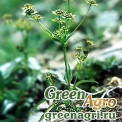 Володушка молочайная (Bupleurum euphorbioides) 3 гр.