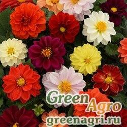"Георгина гибридная (Dahlia hybrida) ""Figaro"" (mix) raw 1000 шт."